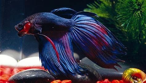 betta fish span betta fish lifespan some useful information on subject