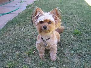 Haircuts For Silky Terriers Pictures | blackhairstylecuts.com