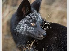 The Rare Beauty Of Black Foxes 15+ Pics Bored Panda