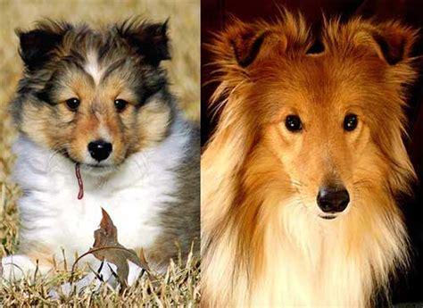 dog lover shetland sheepdog sheltie