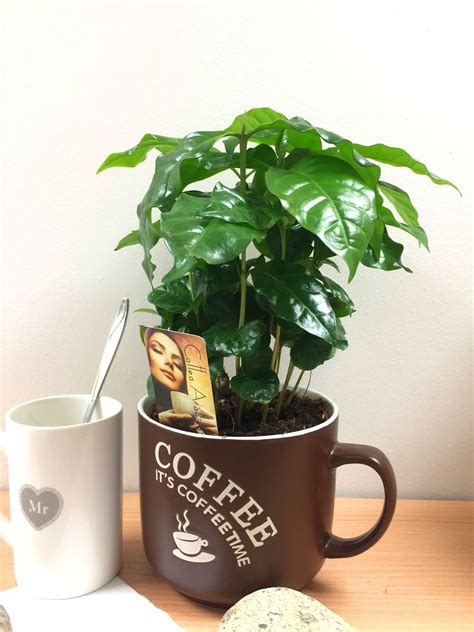 …species of the coffee plant, coffea arabica and c. 1 Arabica Coffee Plant Tree in Pot Indoor house Garden Grow Your Own Coffea Bean   eBay