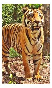 International Tiger Day 2017: 10 national parks in India ...