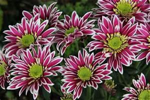 Blühende Pflanzen Winterhart : chrysanthemen pflege schneiden berwintern ~ Michelbontemps.com Haus und Dekorationen