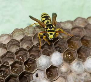 Mittel Gegen Wespen Im Dach : wespennest selbst entfernen wespennest selbst entfernen darauf ist zu achten anleitung ~ Eleganceandgraceweddings.com Haus und Dekorationen