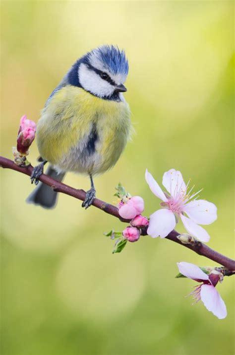 17 Best Ideas About Blue Tit On Pinterest  Pretty Birds