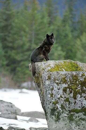 Alpha Male Wolf