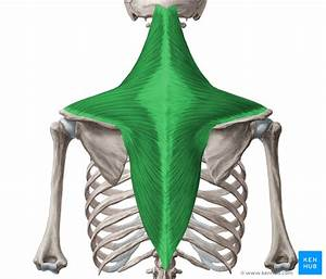 Anatomy  Function And Pathology Of The Trapezius Muscle