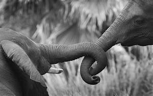 Elephant Wallpaper and Background Image   1680x1050   ID ...