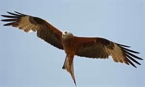Bid On Flights by Buckinghamshire Terrorised By Birds Of Prey In