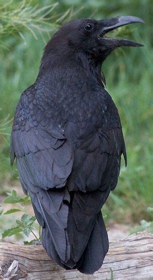 image result  pet raven animals pinterest raven