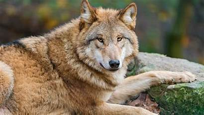 4k Wolf Animal Brown Wallpapers Ultra