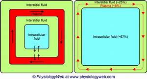 Physiology Illustration  Three Major Body Fluid Compartments  Intracellular Fluid  Interstitial