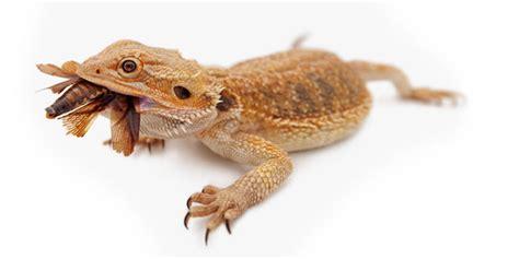 Bearded Feeders by Feeding Dubia Roaches To Bearded Dragons Bearded