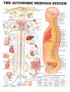 Nervous System Anatomy The Autonomic Nervous System The
