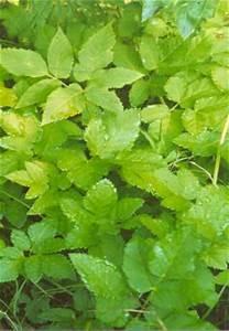 Was Hilft Gegen Giersch : heilpflanze giersch wildkraut gegen gicht winterharte steingarten bio pflanze ~ Buech-reservation.com Haus und Dekorationen