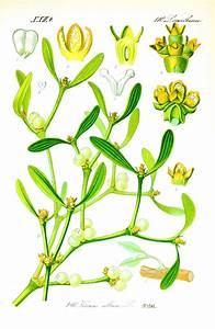 R Und S Pulheim : jemio a pospolita magiczna ro lina i jej zastosowanie places and plants ~ Eleganceandgraceweddings.com Haus und Dekorationen