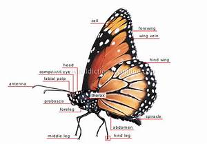 Animal Kingdom    Insects And Arachnids    Butterfly    Morphology Of A Butterfly  1  Image