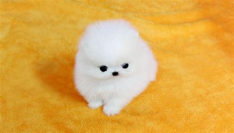 Super Small White Pomeranian Puppies Offer