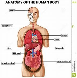 Diagram Of Inside Human Body