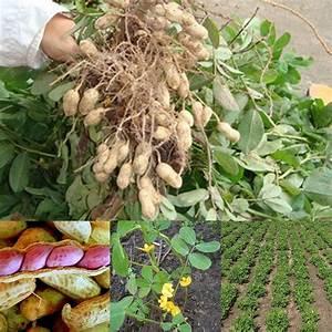 Hot Sale Seeds Of Jumbo Virginia Peanuts Untreated Seeds ...