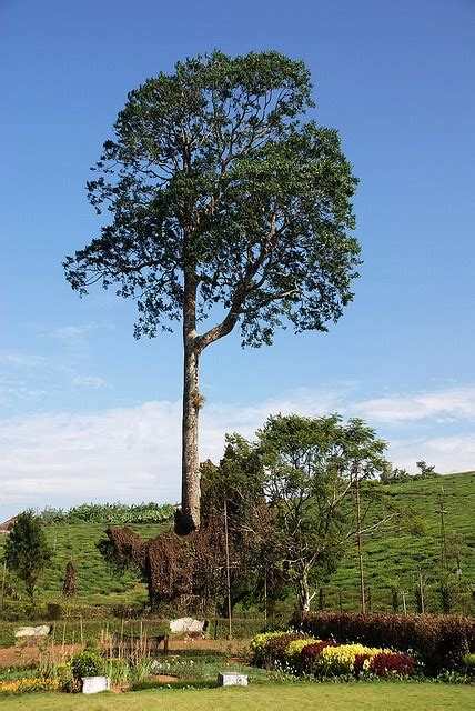 mahogany tree favorite places spaces trees  plant