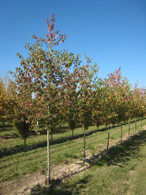 washington hawthorn washington hawthorn fruit images