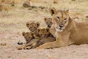 lioness | Mothersons