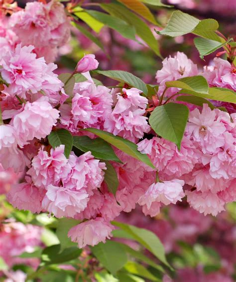 flowering cherry kwanzan japanese flowering cherry