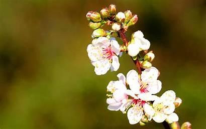 Cherry Flowers Blossoms Desktop