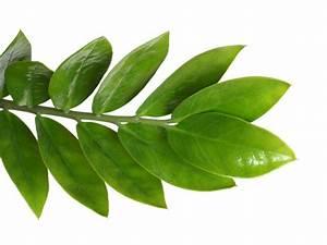 Hanfpalme Braune Blätter : zamioculcas bekommt braune bl tter woran liegt 39 s ~ Lizthompson.info Haus und Dekorationen