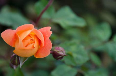 alte rosensorten stark duftend duftrosen 187 diese sorten benebeln die sinne