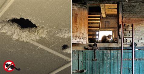marder im dachboden marder im haushalt wie verschrecken dauerhaft loswerden gardigo