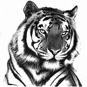 Tiger In Pencil Drawing by Rahul Geetha Nair