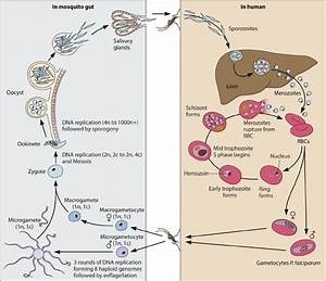 The Plasmodium Life Cycle  A Malaria Infection Begins With