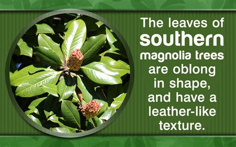 southern magnolia facts southern magnolia tree facts