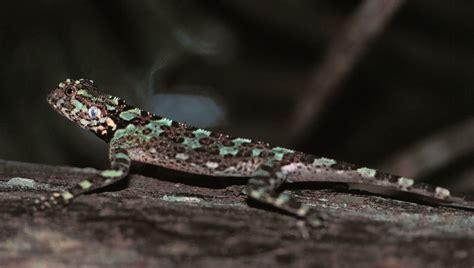 Plica plica   Plica plica in Ducke Reserve, north of Manaus,…   Flickr