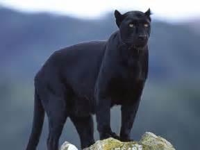 black panther cat animals black panther desktop wallpaper nr 32929