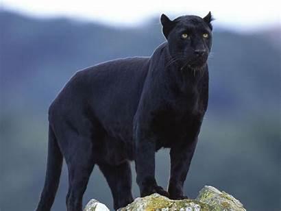 Animals Panther Panthers Cats Animal Jaguar Cat