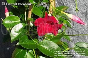 Ranken Blumen Garten : dipladenia bilder fotos mandevilla spec bild mit infos ~ Whattoseeinmadrid.com Haus und Dekorationen