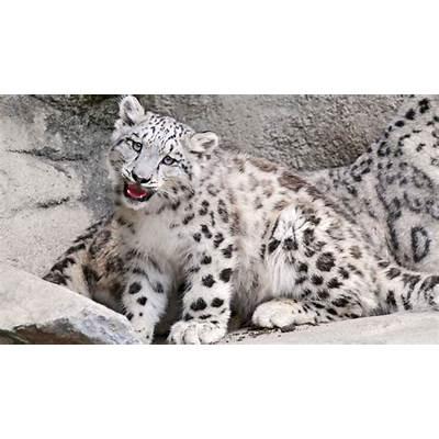 Snow LeopardThe Biggest Animals Kingdom