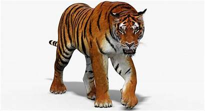 Tiger 3d Animation Turbosquid