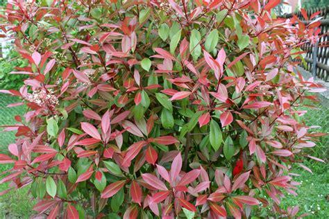 Kübelpflanzen Winterhart Immergrün by Winterharte Balkonpflanzen Diese 33 K 252 Belpflanzen Sind