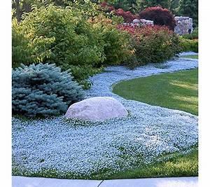 Bodendecker Blaue Blüten : keyzers rarit t bodendecker mehrj hrig winterhart 6 pflanzen ~ Frokenaadalensverden.com Haus und Dekorationen