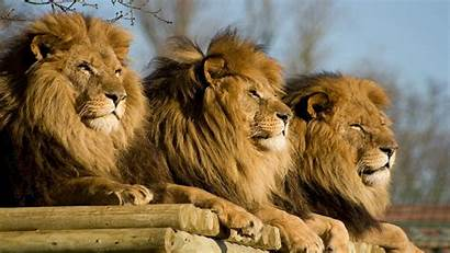 Lion Lions African Wallpapers Three Save Watching