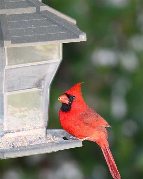 best squirrel proof bird feeder for cardinals duncraft