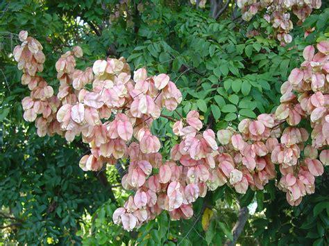 panicled raintree promises showy lantern pods  grows
