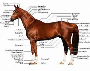 Bilder Von Pferden : pferde k rper die k rperteile von pferden ~ Frokenaadalensverden.com Haus und Dekorationen
