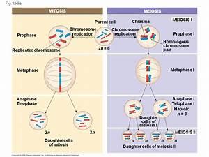 2n 6 Mitosis Diagram