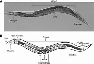 A Picture And Diagram Of Caenorhabditis Elegans Labeled With Important