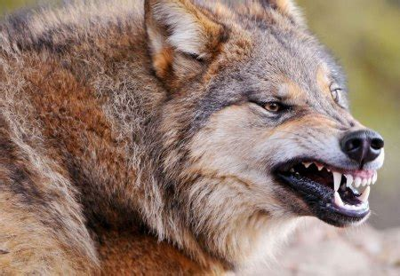 Beast Animal Wallpaper - the wolf the beast dogs animals background wallpapers
